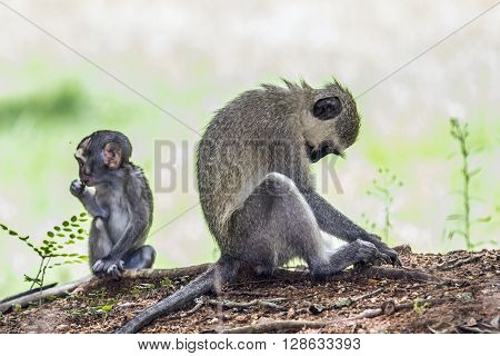 Specie Chlorocebus pygerythrus family of Cercopithecidae, mother and baby vervet monkey in Kruger park, South Africa