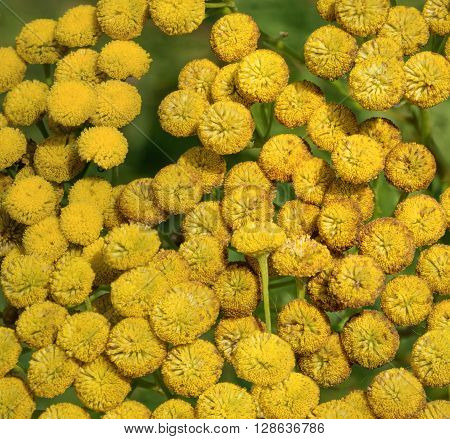 Bright yellow blossom clusters of flowering Tanacetum vulgare common knowing as tansy are in summer sunlight as natural background.