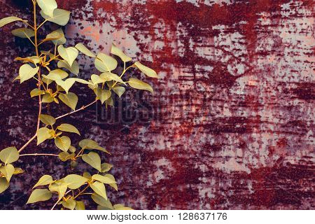 Beautiful fresh tree branch with green leaves on rusty iron corrosive background