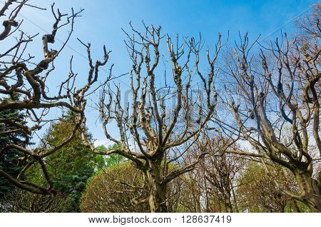 twisted trees without leaves on a background of the spring sky