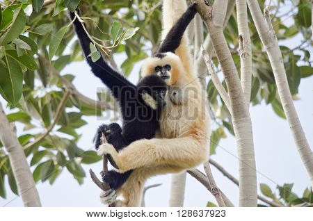 the white faced gibbon is feeding her baby boy