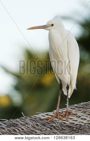 wild egyptian heron stands on the straw roof
