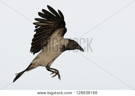 Hooded crow flies flapping wings before landing isolated on white