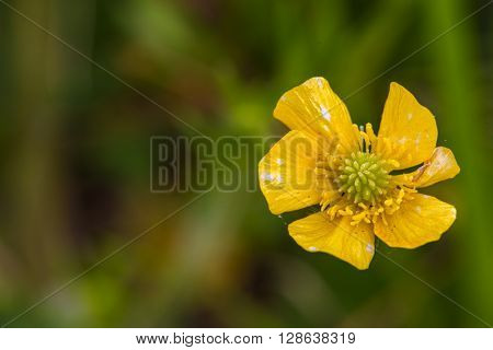 Closeup photo of St. Anthony's Turnip (Ranunculus bulbosus) wild flower