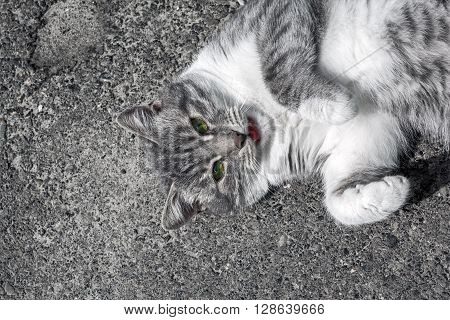 Funny grey and white cat with green eyes on grey background