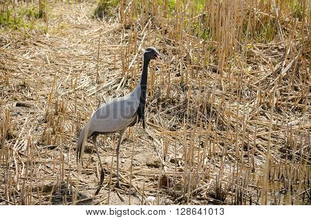 Demoiselle Crane among the dry grass In early spring