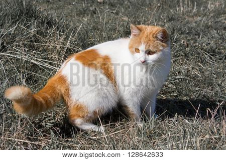 white cat with red spots on the tail coat and red