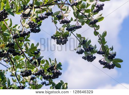 ripe black ash berry growing in the tree in a garden