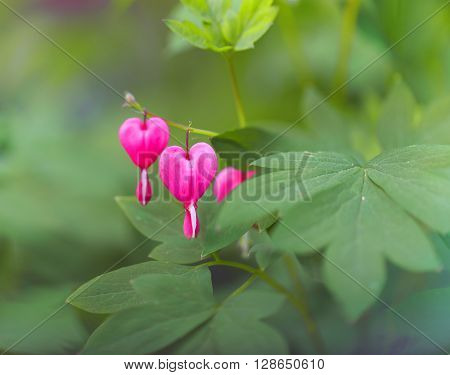 Beautiful macro dicentra flowers on green soft background.
