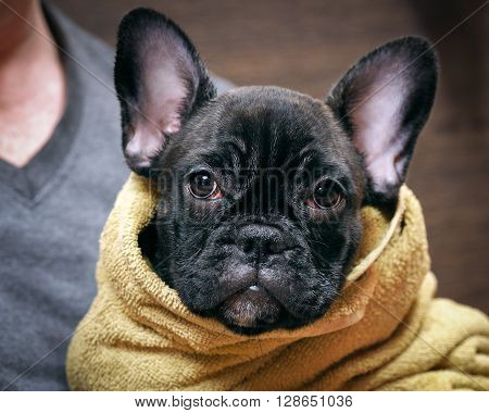 Wet, sad dog after washing with a towel. Pedigreed Dog, French Bulldog. Young pup