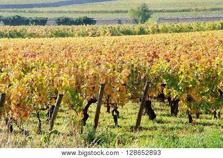 Vineyard on autumn season in Burgundy near Beaune France Europe
