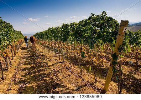 Italy, Tuscany, Bolgheri Valley, Vineyard, Wine Grape
