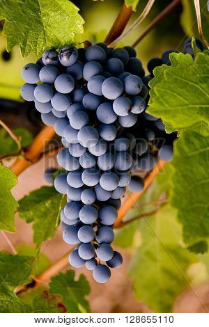 Italy, Tuscany, Bolgheri Valley, Vineyard, Wine Grape