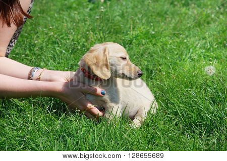 White Dachshund puppy sitting on the green grass in the hands of women