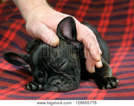 A man's hand stroking the dog. Dog lying on a red rug. portrait of a dog. Dog black French bulldog. Young pup