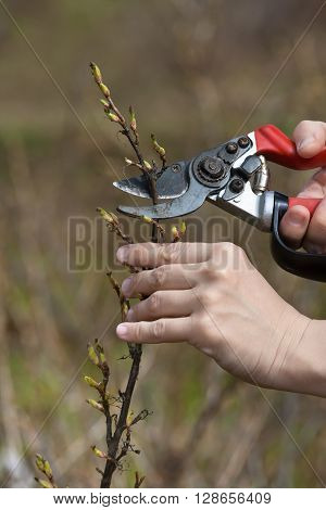 hands pruning black current with secateurs in the garden