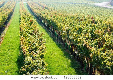 Sunny morning on Vineyard in Burgundy near Beaune France Europe