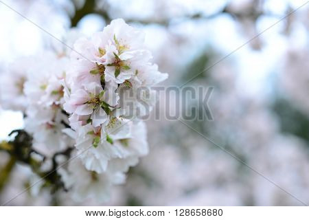 The tenderness of a flowering almond tree