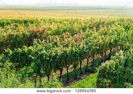 Beautiful view on Vineyard in Burgundy near Beaune France Europe