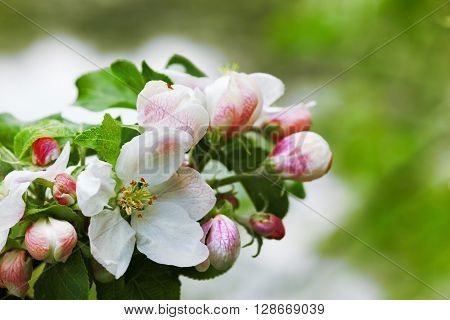 .Spring background with blossom fowers.Fowering Apple trees