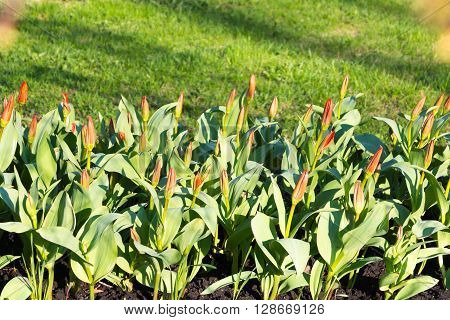 flowerbed with red shoots of tulips on an indistinct background of a lawn with a green spring grass