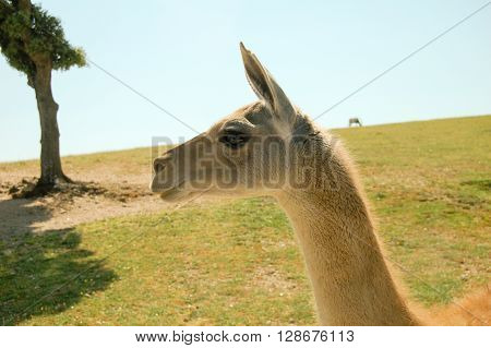 Young llama outdoors. Horozintal composition. Side face.