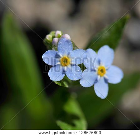 two lovely blue forget-me-not flower in nature