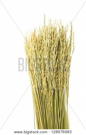 Selective focus on green yellow dried paddy grain rice on white background - top view of paddy rice