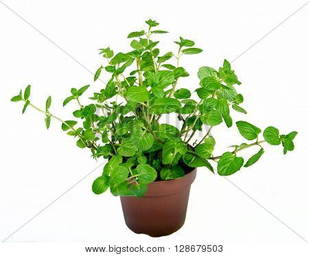 basket with fresh mint on white background