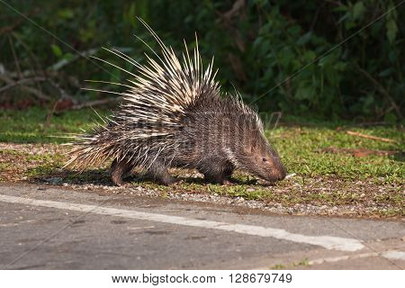 The porcupine seek a food on the grass