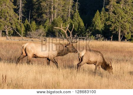 a rutting bull elk checking out a cow