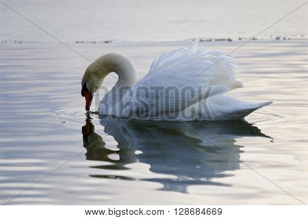 Beautiful picture with a mute swan drinking water from the lake