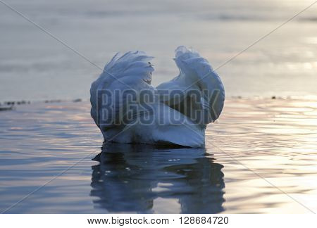 Beautiful isolated photo of a mute swan in the lake on sunset