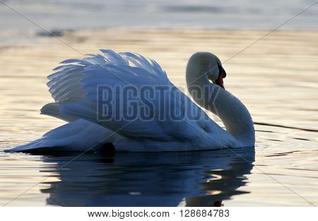 Beautiful isolated image with a mute swan in the lake on sunset