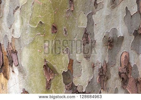 Closeup background photo of texture of shed London plane tree bark