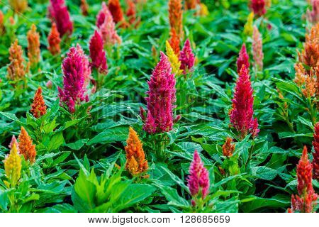 Beautiful  celosia flowers background in flower garden