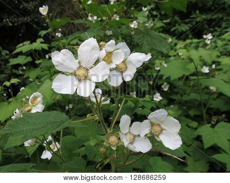 Thimbleberry Flowers (Rubus parviflorus) in the Forest