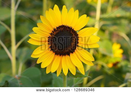 Close up of the sunflower. The common sunflower ( helianthus annuus) is an annual species of sunflower grown as a crop for its edible oil and edible fruits. Sunflower is also used as bird food as livestock forage and in some industrial applications.