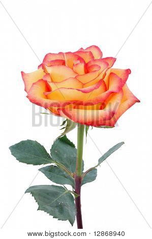 isolated peachy rose