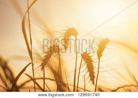 Wheat in sunset glow