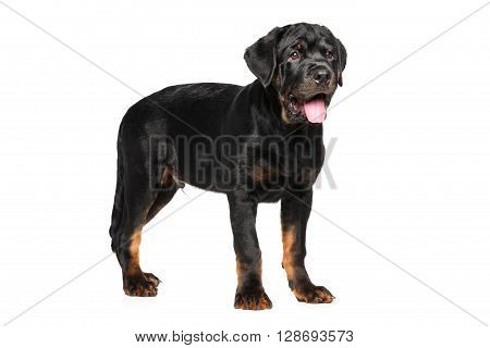 Cute Rottweiler puppy on a  white background