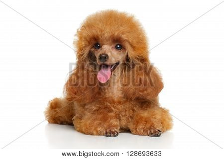 Toy Poodle Puppy Lying