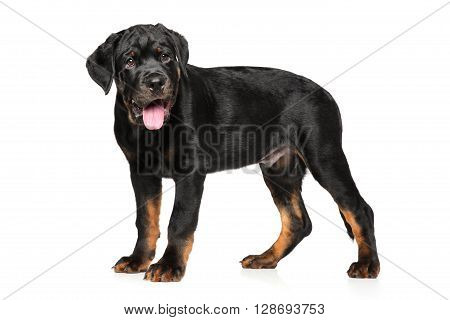 Rottweiler puppy posing on a white background