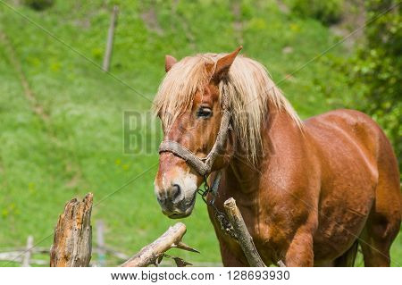 Portrait of draft horse in summer outdoor stall