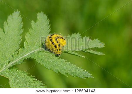 Zygaenidae moths caterpillar is ready to gobble all the rowan-tree leaf