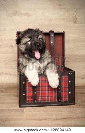 Caucasian Shepherd In Box