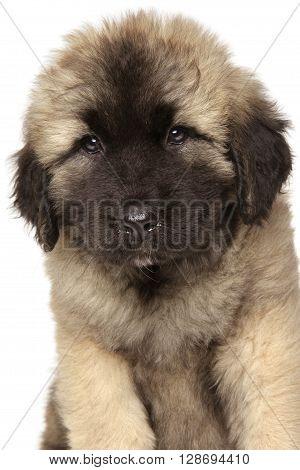 Close-up Of Caucasian Shepherd Puppy