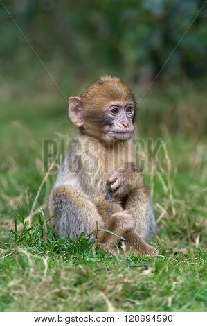 Young Barbary Macaque (Macaca Sylvanus) on forest floor