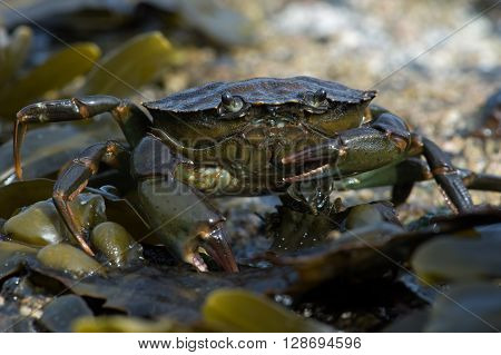 Green Shore Crab (Carcinus Maenus) on barnacle and seaweed encrusted rock
