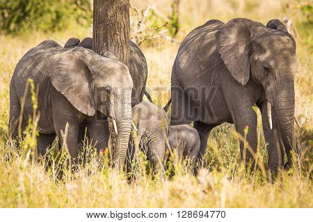 African adult elephants with babies in Serengeti, Tanzania.
